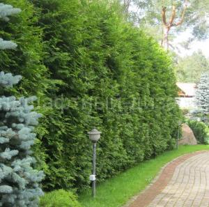 Живая изгородь - Ландшафтный Дизайн РФ