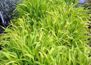 Бор развесистый - Самые популярные виды декоративных злаков