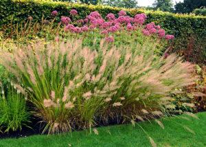 Вейник коротковолосистый - Самые популярные виды декоративных злаков