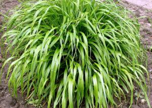 Соргаструм - Самые популярные виды декоративных злаков