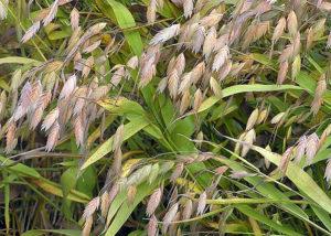 Униола колосистая - Самые популярные виды декоративных злаков