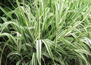 Тростниковый канареечник - Самые популярные виды декоративных злаков